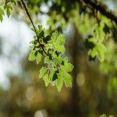 Acer campestre - Planta - 6.45€ - Jardimdaceleste.com - Plantas Tropicais & Exóticas!