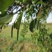 Alnus glutinosa - Planta - 5.45€ - Jardimdaceleste.com - Plantas Tropicais & Exóticas!