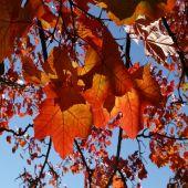 Acer platanoides - Planta - 6.55€ - Jardimdaceleste.com - Plantas Tropicais & Exóticas!