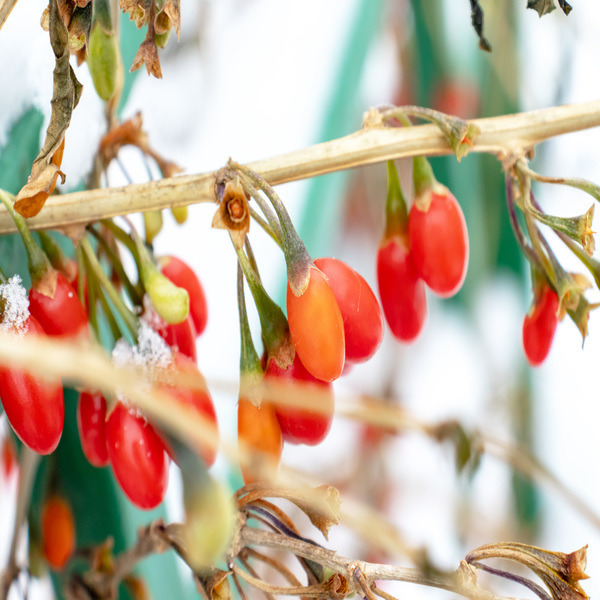 Berberis vulgaris - Planta - 4.85€ - Jardimdaceleste.com - Plantas Tropicais & Exóticas!