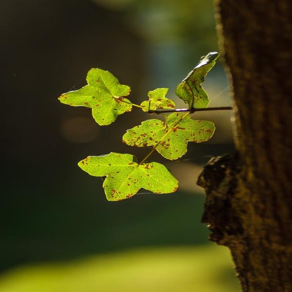 Acer monspessulanum - Planta - 4.55€ - Jardimdaceleste.com - Plantas Tropicais & Exóticas!