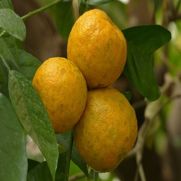 Citrus Aurantium (Laranja-azeda) - Planta - 5.95€ - Jardimdaceleste.com - Plantas Tropicais & Exóticas!