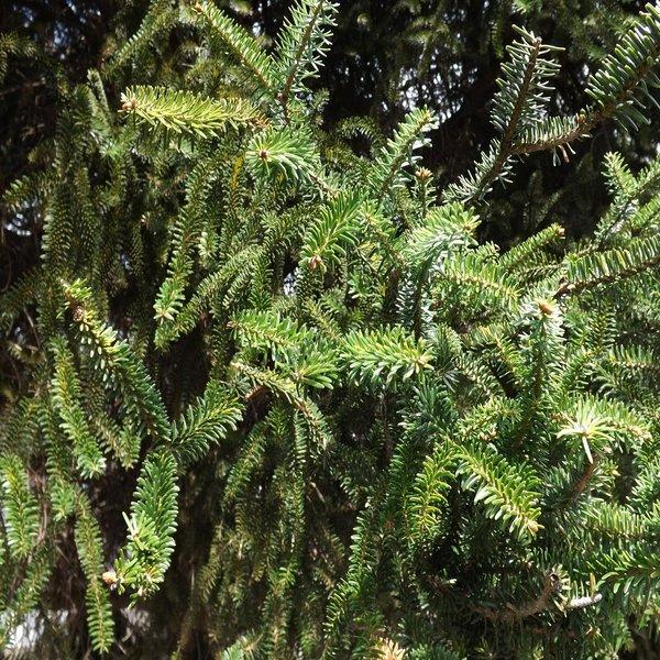 Abies pinsapo (Abeto de Andalucía) - Baby Plant - 3.25€ - Jardimdaceleste.com - Plantas Tropicais & Exóticas!