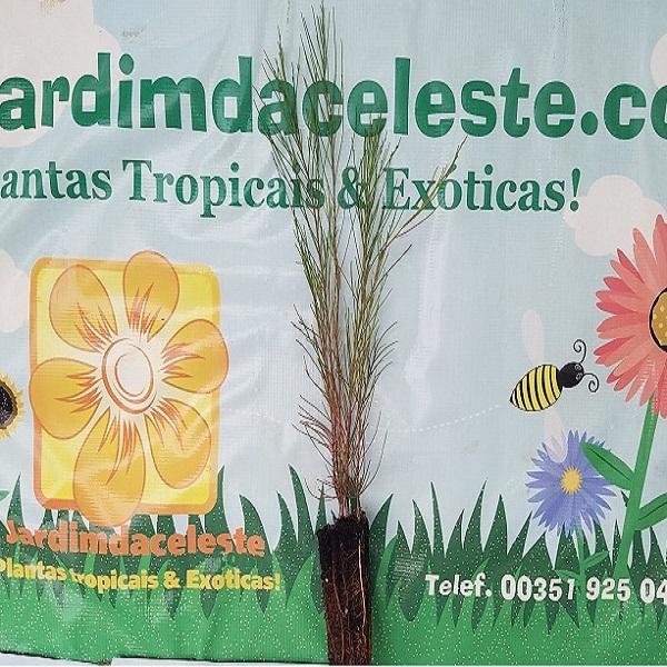 Casuarina equisetifolia - Planta - 5.45€ - Jardimdaceleste.com - Plantas Tropicais & Exóticas!