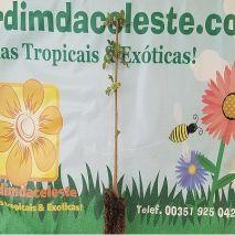 Fraxinus angustifolia (Freixo-de-folhas-estreitas) - 4.25€ - Jardimdaceleste.com - Plantas Tropicais & Exóticas!