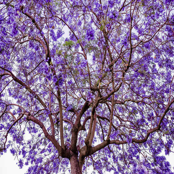 Jacaranda mimosifolia - Planta - 5.85€ - Jardimdaceleste.com - Plantas Tropicais & Exóticas!