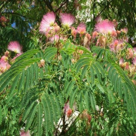 Albizia julibrissin (Árvore-da-seda) - Planta - 4.85€ - Jardimdaceleste.com - Plantas Tropicais & Exóticas!