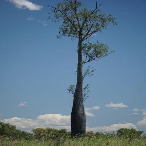 Brachychiton rupestris (Árvore-garrafa) - Planta - 6.95€ - Jardimdaceleste.com - Plantas Tropicais & Exóticas!