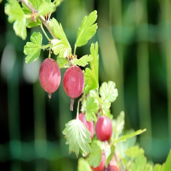 """Ribes uva-crispa """"Hinnonmaki Red"""" (Groselha Vermelha) - Baby Plant - 3.5€ - Jardimdaceleste.com - Plantas Tropicais & Exóticas!"""