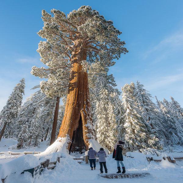 Sequoiadendron giganteum - Planta - 5.7€ - Jardimdaceleste.com - Plantas Tropicais & Exóticas!