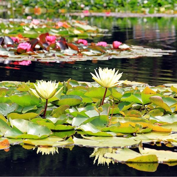 Nenúfar - Nymphaea ampla white - Baby Plant - 5.25€ - Jardimdaceleste.com - Plantas Tropicais & Exóticas!